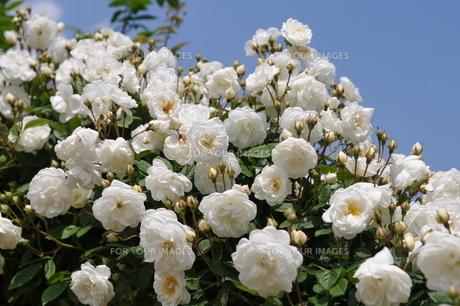 薔薇03の写真素材 [FYI01176084]