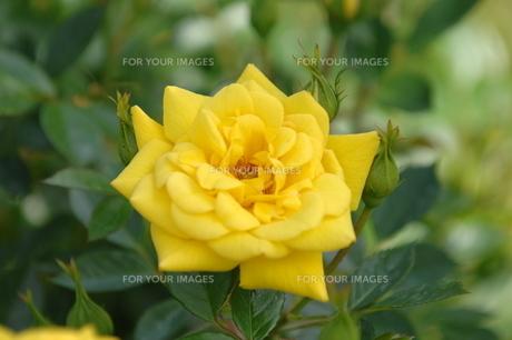 薔薇02の写真素材 [FYI01176085]