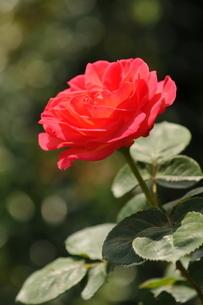 薔薇01の写真素材 [FYI01176086]
