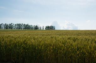 色づき始めたムギ畑の写真素材 [FYI01176323]