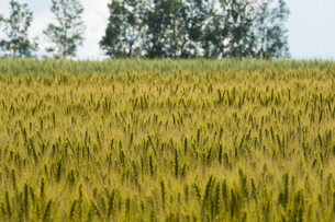 色づき始めたムギ畑の写真素材 [FYI01176324]