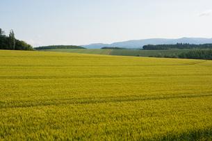 色づき始めたムギ畑の写真素材 [FYI01176325]