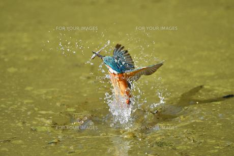 カワセミの捕食の写真素材 [FYI01176373]