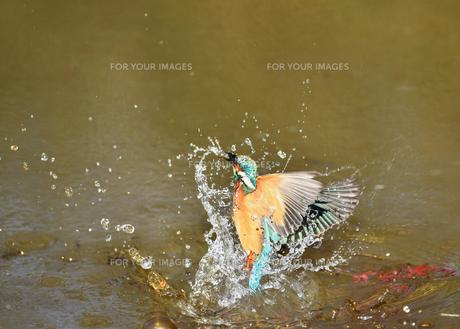 カワセミの捕食の写真素材 [FYI01176374]