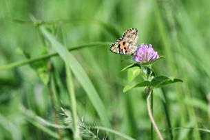 草原のタテハ蝶の写真素材 [FYI01176433]