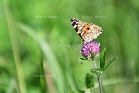草原のタテハ蝶の写真素材 [FYI01176434]