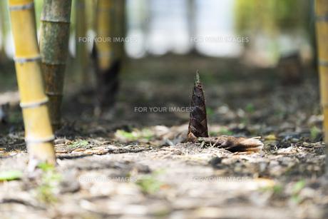 たけのこ タケノコ 筍 竹の子 竹林の写真素材 [FYI01176462]