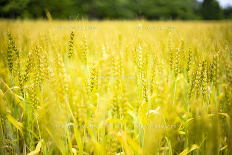 麦畑の写真素材 [FYI01176596]