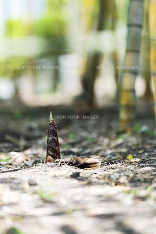 たけのこ タケノコ 筍 竹の子 竹林の写真素材 [FYI01176909]