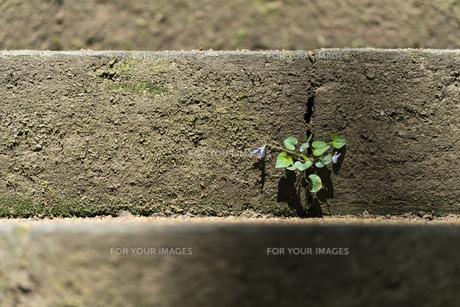石段の隙間から生える植物の写真素材 [FYI01176918]