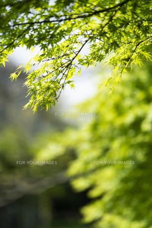 新緑 背景の写真素材 [FYI01176922]