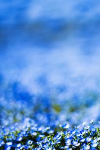 ネモフィラ畑 背景の写真素材 [FYI01176929]