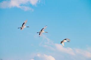 丹頂鶴の飛翔の写真素材 [FYI01177113]