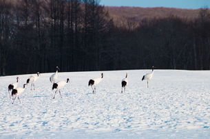 雪原の丹頂鶴の写真素材 [FYI01177115]