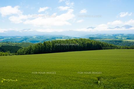 緑の麦畑と青空の写真素材 [FYI01177275]