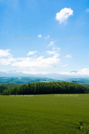 緑の麦畑と青空の写真素材 [FYI01177276]