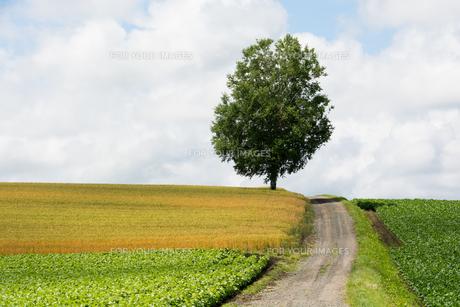 丘の上のシラカバの木の写真素材 [FYI01177281]