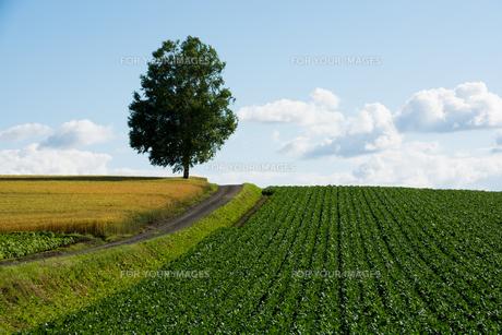 丘の上のシラカバの木の写真素材 [FYI01177282]