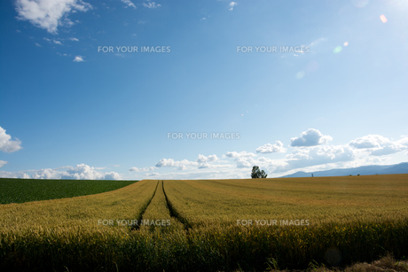 麦畑と夏空の写真素材 [FYI01177283]