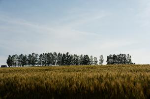 色づき始めた麦畑とシラカバ並木 美瑛町の写真素材 [FYI01177287]