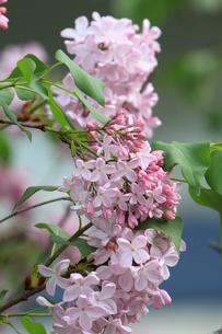 リラの花の写真素材 [FYI01177694]