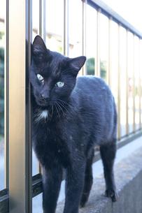 日本の屋外で暮らす黒猫の写真素材 [FYI01177742]