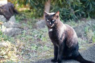 日本の屋外で暮らす黒猫の写真素材 [FYI01177746]
