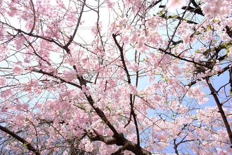 桜と透き通った空の写真素材 [FYI01177760]