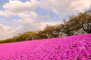 色鮮やかな芝桜の写真素材 [FYI01177769]