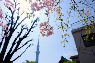 桜とスカイツリーの写真素材 [FYI01177772]