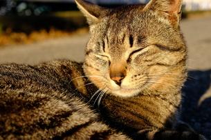 まぶしそうなネコの写真素材 [FYI01177814]