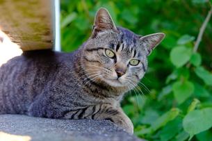 こちらに気づいた猫の写真素材 [FYI01177815]