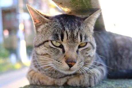 美しい猫の顔の写真素材 [FYI01177819]