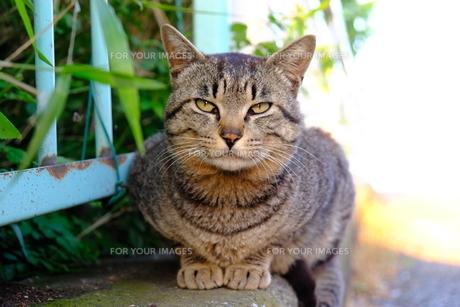 お行儀がよい猫の写真素材 [FYI01177821]