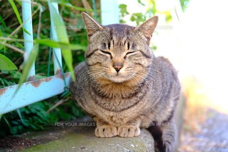 お行儀がよい猫の写真素材 [FYI01177822]