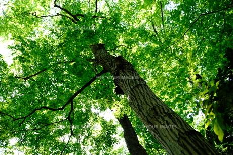 木を見上げるの写真素材 [FYI01177825]