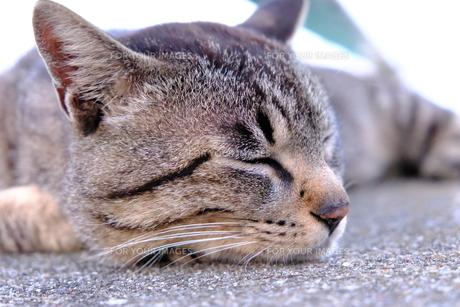お疲れ様の猫の写真素材 [FYI01177833]