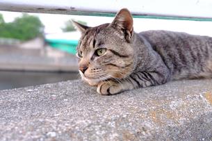 凛々しい猫の横顔の写真素材 [FYI01177834]