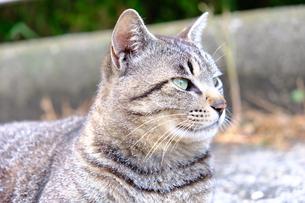 可愛い猫の写真素材 [FYI01177839]