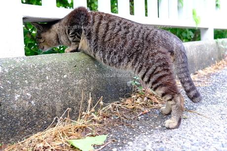 覗き込む猫の写真素材 [FYI01177840]