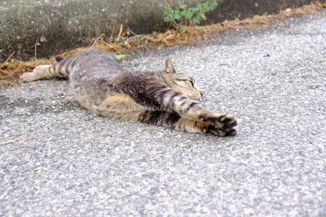 伸びをする猫の写真素材 [FYI01177842]