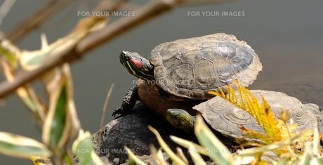 亀たちの日光浴の写真素材 [FYI01177849]