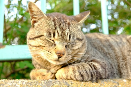 大好きな猫の写真素材 [FYI01177855]