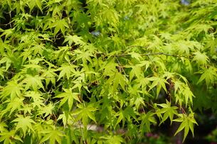 春の緑な紅葉の葉の写真素材 [FYI01177886]
