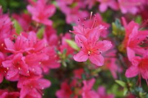小ぶりで満開なつつじの花の写真素材 [FYI01177888]