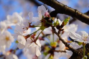 力強い桜の花と蕾の写真素材 [FYI01177892]