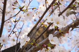桜の花と青空の写真素材 [FYI01177893]