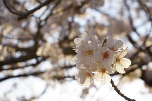 夕陽に透ける桜の花の写真素材 [FYI01177894]