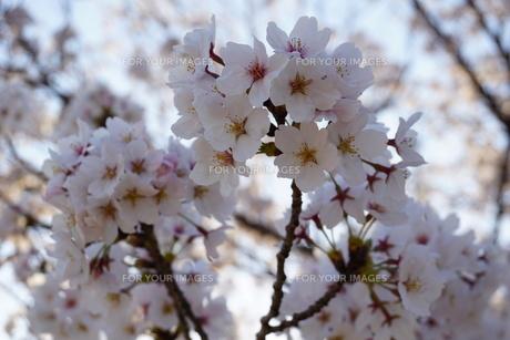 逆光の桜の写真素材 [FYI01177895]