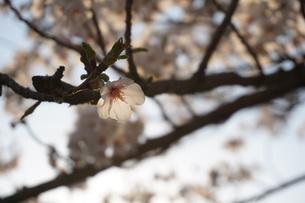 光を浴びて透ける桜の花の写真素材 [FYI01177896]